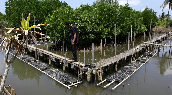 Kepiting Bakau, Primadona Hutan Mangrove