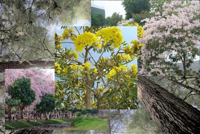 Tabebuya, Pohon Dengan Varian Warna