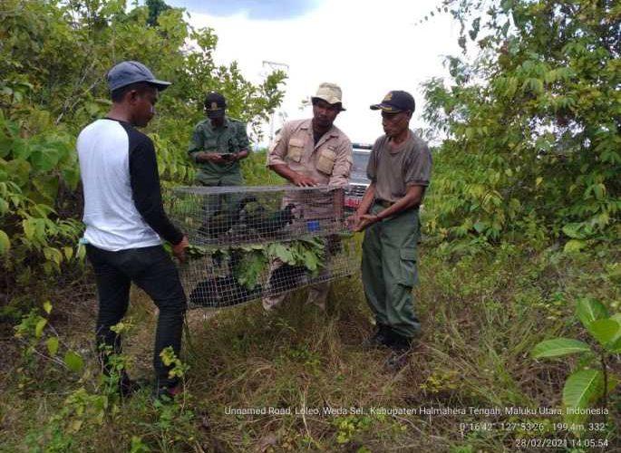 Balai KSDA Maluku Lepasliarkan 12 Ekor Burung Junai Emas Kembali ke Habitatnya