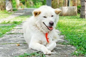 Mengenal Kintamani, Anjing Purba Asli Indonesia
