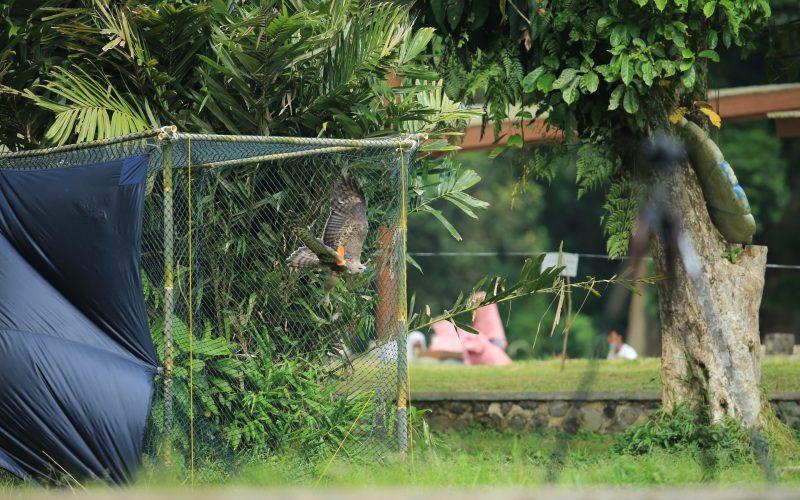 Pelepasliaran Elang Brontok di Site Monitoring Situgunung-Cimungkad