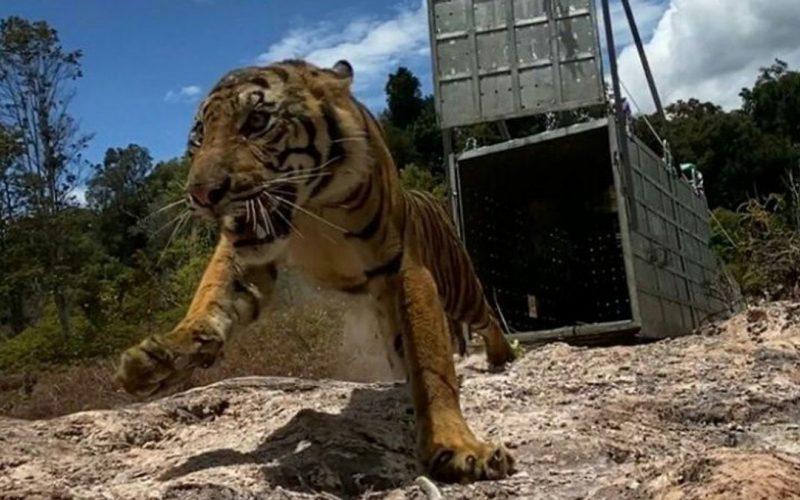 Pelepasliaran Harimau Sumatera Suro ke Taman Nasional Gunung Leuser