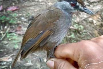Setelah 172 Tahun Hilang, Burung Pelanduk Kalimantan Kembali Ditemukan