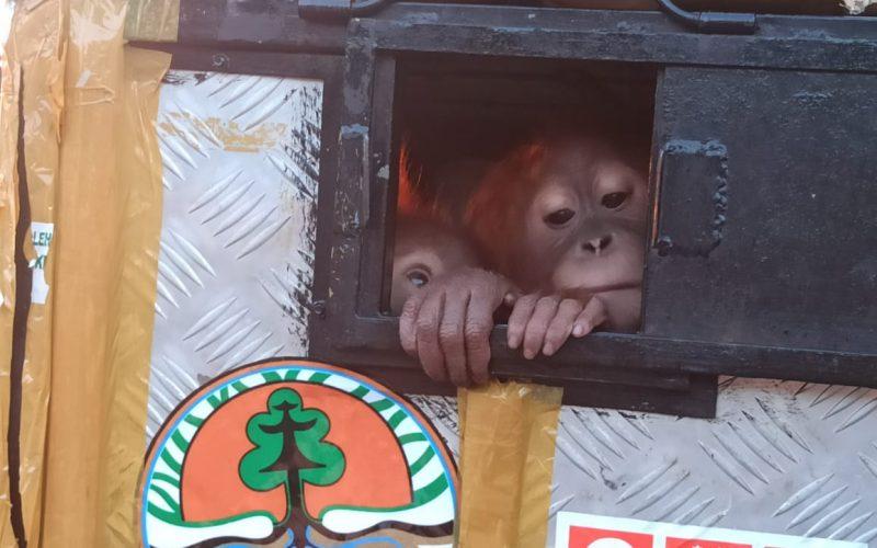Balai Besar KSDA Sumatera Utara Menerima 2 Orangutan Dari BKSDA Jawa Tengah