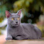 Si Busok, Kucing Leopard dari Madura