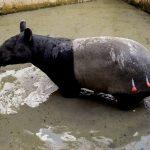 Terjebak di Kolam Ikan, BBKSDA Riau Bersama Warga Evakuasi Tapir