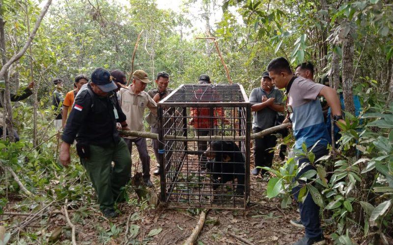 Terperangkap Jerat Babi, BKSDA Sumsel Berhasil Evakuasi Beruang Madu