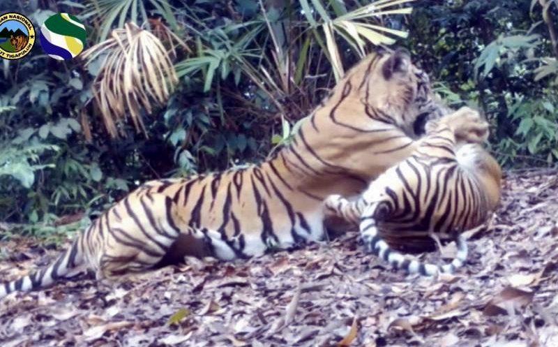 Tiga Ekor Harimau Sumatera Terekam Kamera di TN Bukit Tiga Puluh