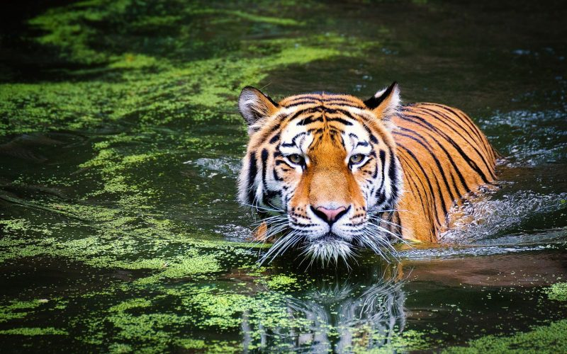 BKSDA Sumbar Ungkap Perdagangan Bagian Tubuh Harimau