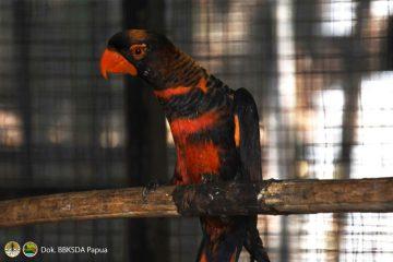 Kembali ke Habitat, Puluhan Satwa Endemik Papua Dipulangkan dari Jogyakarta dan Jakarta